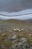 Sheeps Immagini Stock Libere da Diritti