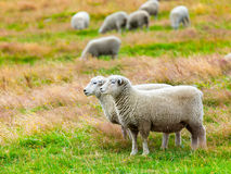 Sheeps Royaltyfri Bild