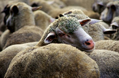 Sheeps Image libre de droits