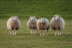 Sheeps. Sheep in a field in Holland Royalty Free Stock Photos