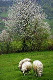 Sheeps. Eating fresh green grass at meadow, white blossom tree at background Stock Image