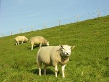 Sheeps Foto de Stock Royalty Free