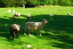 Sheeps. Landscape with sheeps on spring grass Royalty Free Stock Photography