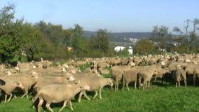 Sheeps απόθεμα βίντεο