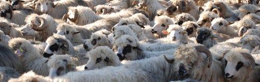 Sheeps Immagini Stock
