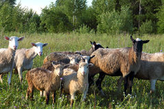 Sheeps Fotografia Royalty Free