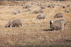 Sheeps Obrazy Royalty Free