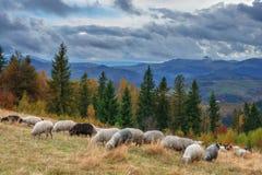 Sheeps Royalty-vrije Stock Foto