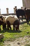 Sheeps Fotografering för Bildbyråer