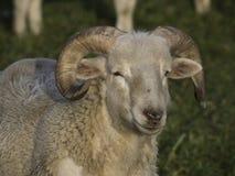 Sheeps Royalty-vrije Stock Afbeeldingen