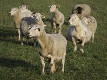 Sheeps Royaltyfri Foto