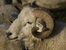 Sheeps Obraz Stock
