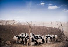 Sheeps Στοκ εικόνες με δικαίωμα ελεύθερης χρήσης