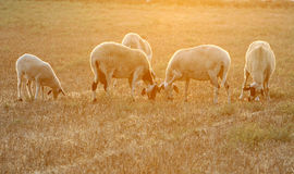 Sheeps. A beautiful sheep group  late in the aftrenoon Royalty Free Stock Photo