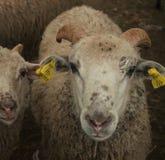 Sheeps Fotografia Royalty Free