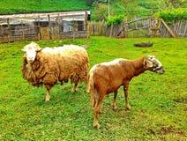 Sheeps Στοκ εικόνα με δικαίωμα ελεύθερης χρήσης