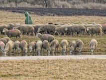 Sheeps Stock Afbeeldingen