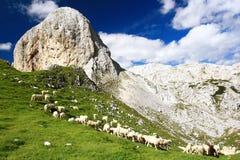 群sheeps 库存照片