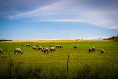 Sheeps Arkivbilder