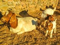 Sheeps στοκ φωτογραφία με δικαίωμα ελεύθερης χρήσης