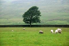 Sheeps Immagine Stock Libera da Diritti