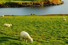 Sheeps Fotografia Stock