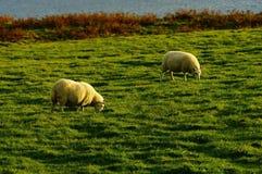Sheeps Obraz Royalty Free