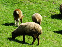 Sheeps Στοκ Φωτογραφία