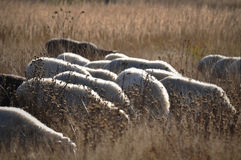 Sheeps Royaltyfria Bilder