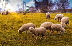 Sheeps Arkivfoton
