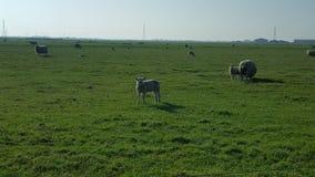 Sheeps Stock Fotografie