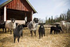 sheeps Стоковые Изображения