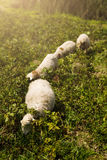 Sheeps Στοκ Εικόνες