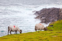 Sheeps in Achill Insel, Irland Lizenzfreie Stockfotos