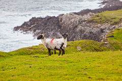 Sheeps at Achill Island, Ireland. Sheeps Pasturing  Along The Rugged Achill Island Coastline, County Mayo, Ireland Royalty Free Stock Image