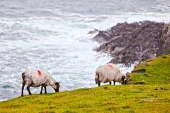 Sheeps at Achill Island, Ireland. Sheeps Pasturing  Along The Rugged Achill Island Coastline, County Mayo, Ireland Royalty Free Stock Photos