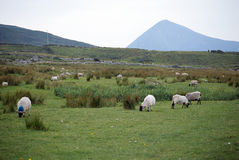 Sheeps on Achill island, in Ireland Stock Photo