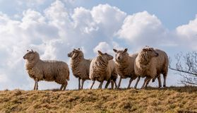 Sheeps in action after danger is seen. The sheeps are ready to run after they saw a dog running towards them Stock Image