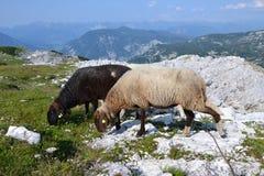 Sheeps in Alpen royalty-vrije stock afbeelding