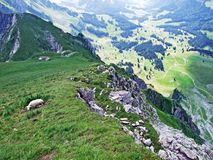 Sheeps on Alpine pastures of Alpstein mountain range seek refreshment from the summer sun stock photos