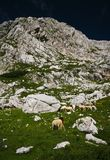 Sheeps in alps. Alpine sheeps in green mountain pastors Stock Images