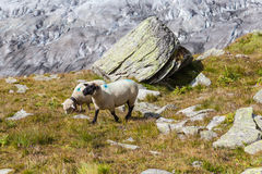 Sheeps in alps above the Aletsch glacier Royalty Free Stock Photo