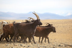 Sheeps on  altai. Herd of rams in altai steppe Stock Photography