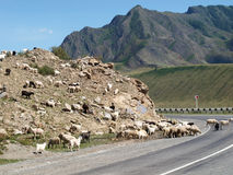 Sheeps at the Altai mountains Stock Images
