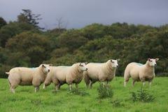Sheeps in altopiano Fotografia Stock Libera da Diritti