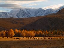 Sheeps And Snowy Mountains Royalty Free Stock Image