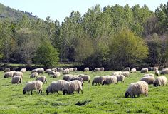Sheeps. Animal white sheeps in the field eating grass Stock Image