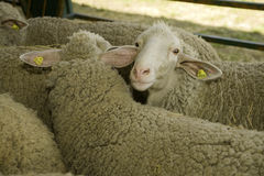 Sheeps At Livestock Exhibition Stock Photography