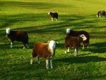 Sheeps auf einem Gebiet Stockbild