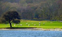 Sheeps auf einem Gebiet Stockbilder